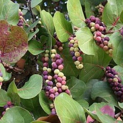 Uva de palya