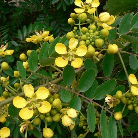 Acacia amarilla - Casia amarilla